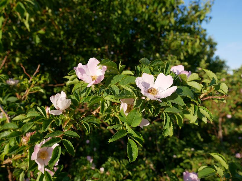 桃红色花 桃红色狂放玫瑰色或狗玫瑰开花与叶子 库存图片