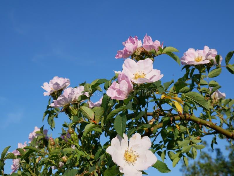桃红色花 桃红色狂放玫瑰色或dogrose开花与在蓝天背景的叶子 免版税图库摄影