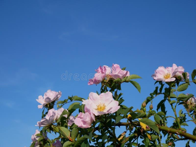 桃红色花 桃红色狂放玫瑰色或dogrose开花与在蓝天背景的叶子 库存图片
