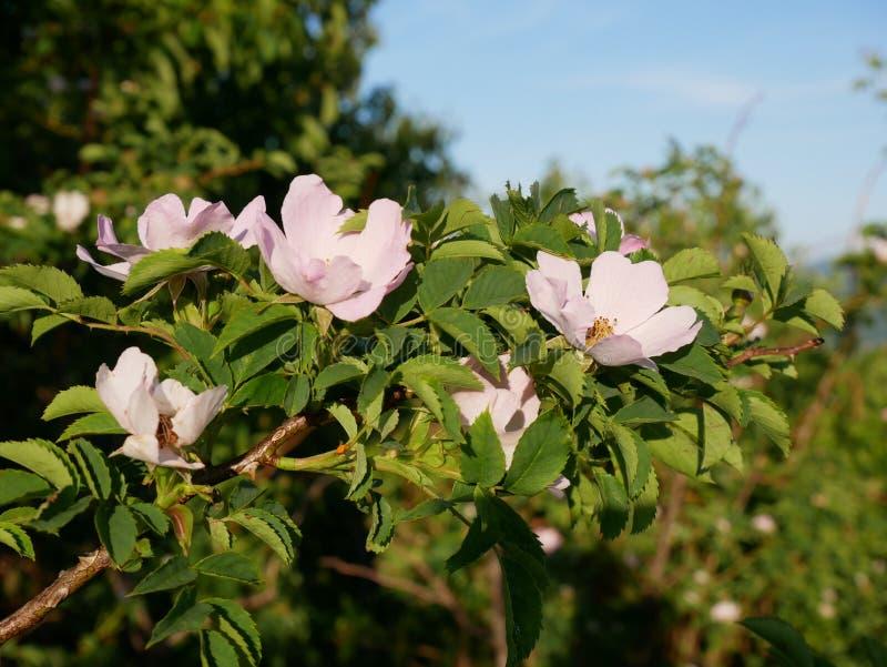桃红色花 桃红色狂放玫瑰色或dogrose开花与在蓝天背景的叶子 免版税库存照片