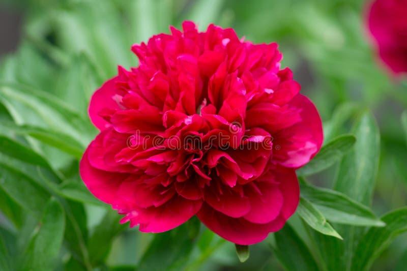 桃红色花细节 库存照片