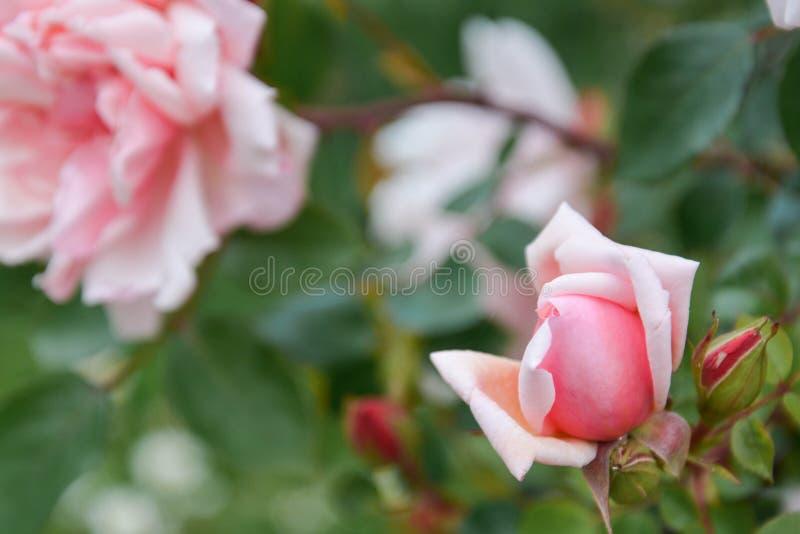 桃红色英语在庭院里上升了花卉生长,夏时 免版税库存图片