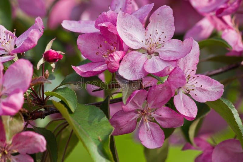桃红色苹果树 免版税库存照片