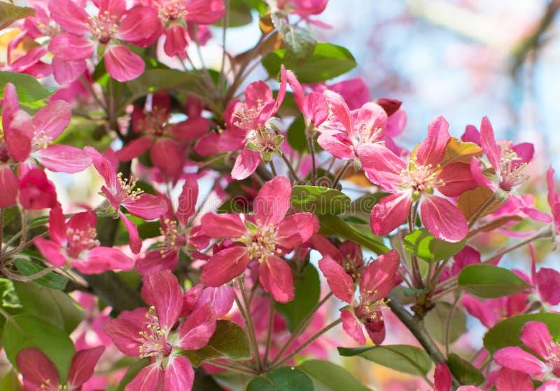 桃红色苹果花 库存图片