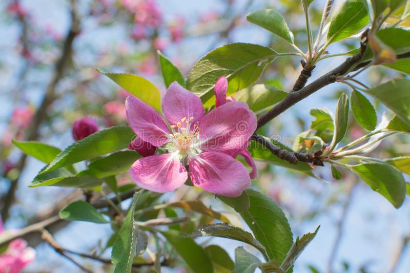 桃红色苹果花 图库摄影