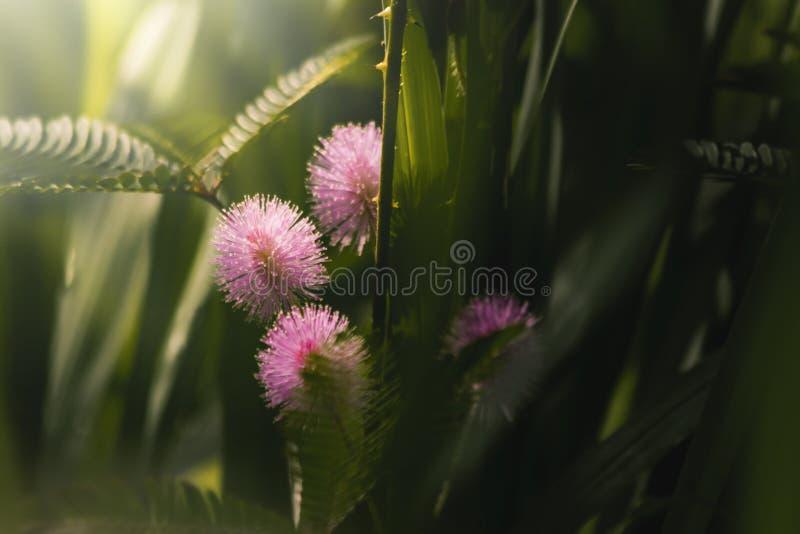桃红色草花和太阳光发光 库存图片