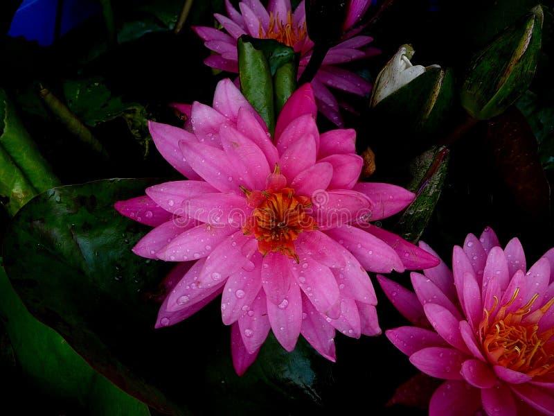 桃红色荷花丰富在曼谷泰国 库存图片