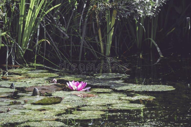 桃红色荷花在一个小池塘 免版税库存图片