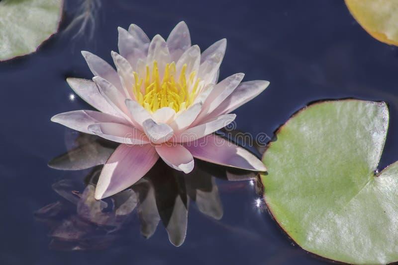 桃红色荷花绽放特写镜头在紫色水的选择聚焦反射了 免版税库存图片