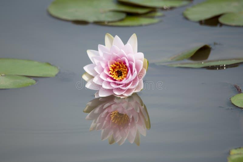 桃红色莲花和叶子。 免版税库存照片