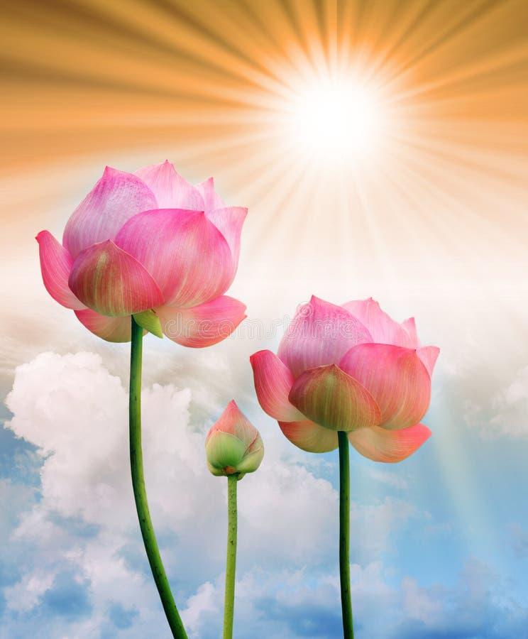 桃红色莲花和太阳光 库存图片