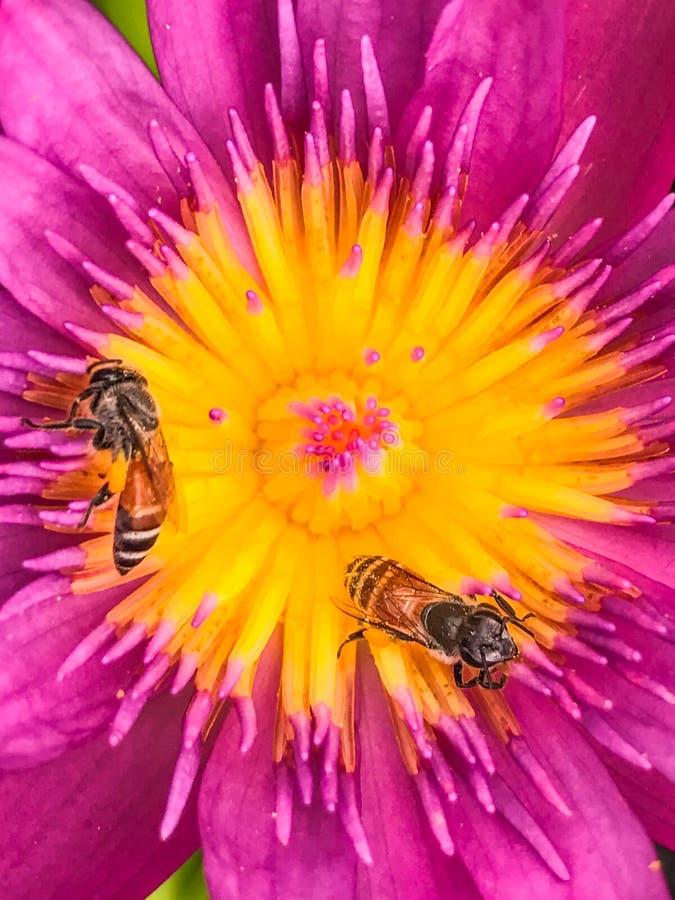 桃红色莲花和蜂在黄色花粉 库存图片