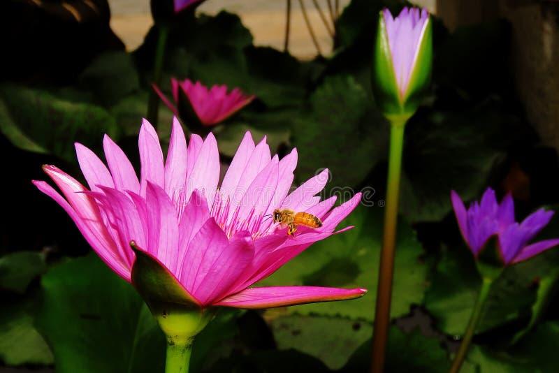 桃红色莲花和蜂 免版税库存照片