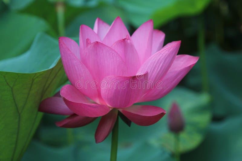 桃红色莲花在一位谦逊的官员的庭院里在上海 库存图片