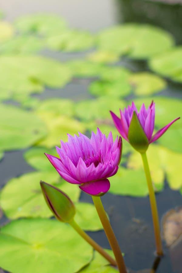 桃红色莲花在池塘 免版税库存图片