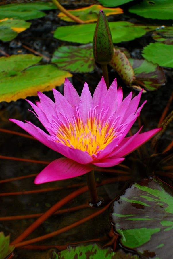 桃红色莲花在池塘 免版税库存照片