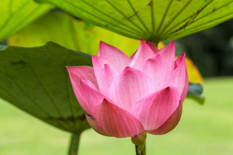 桃红色莲花在自然池塘增长的关闭和叶子 图库摄影