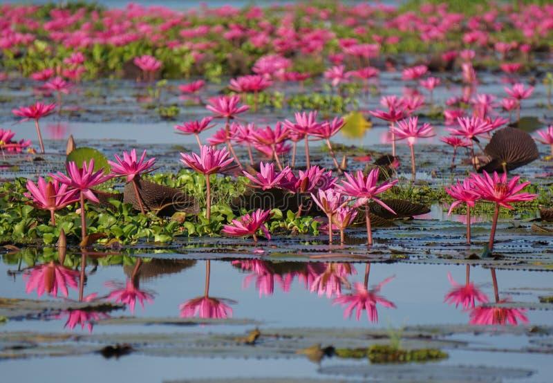 桃红色莲花在自然池塘 库存图片