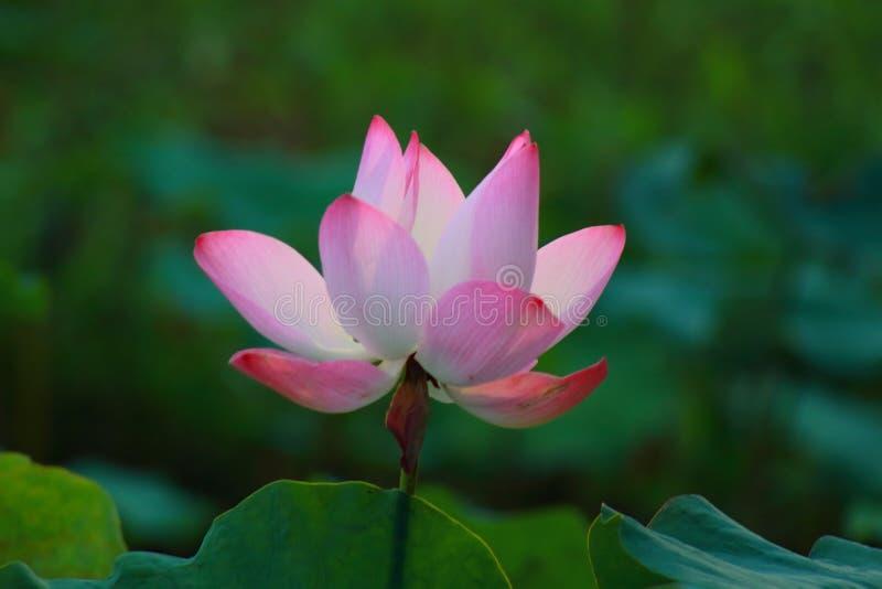 桃红色莲花在阳光下 库存图片