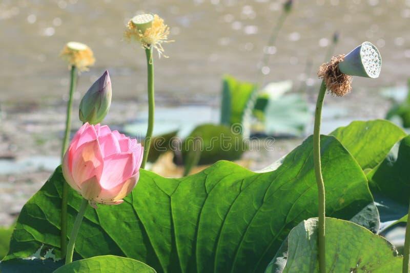桃红色莲花的花和芽 库存照片