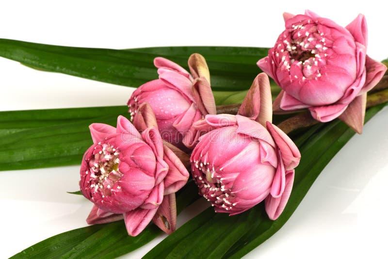 桃红色莲花花束在白色背景的 免版税库存图片