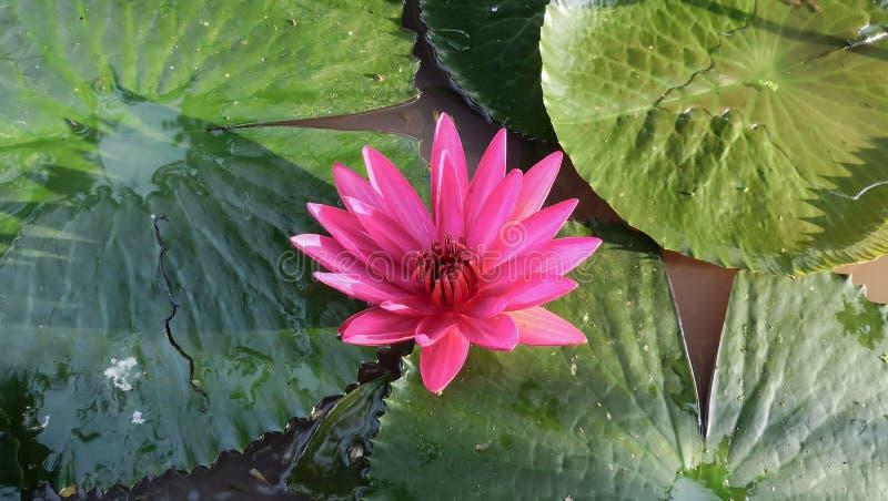 桃红色莲花荷花花在池塘 图库摄影
