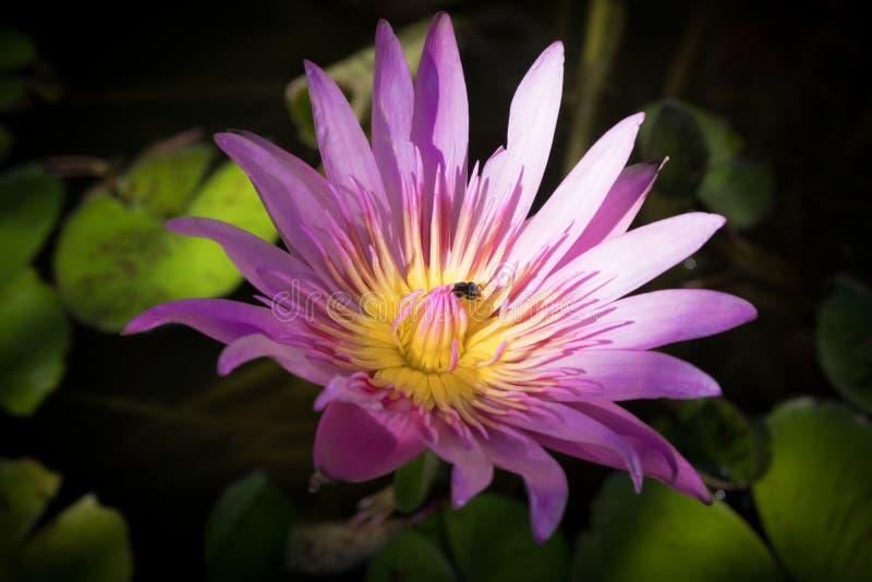 桃红色莲花,莲花是水厂,桃红色莲花flowe 库存图片