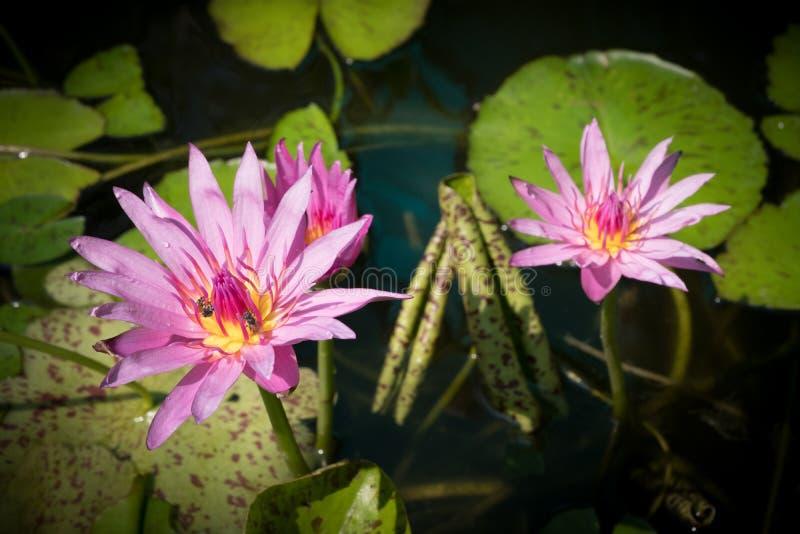 桃红色莲花,莲花是水厂,桃红色莲花flowe 库存照片