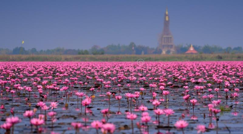 桃红色莲花, Nong韩,乌隆他尼,泰国海(未看见在泰国 免版税库存照片