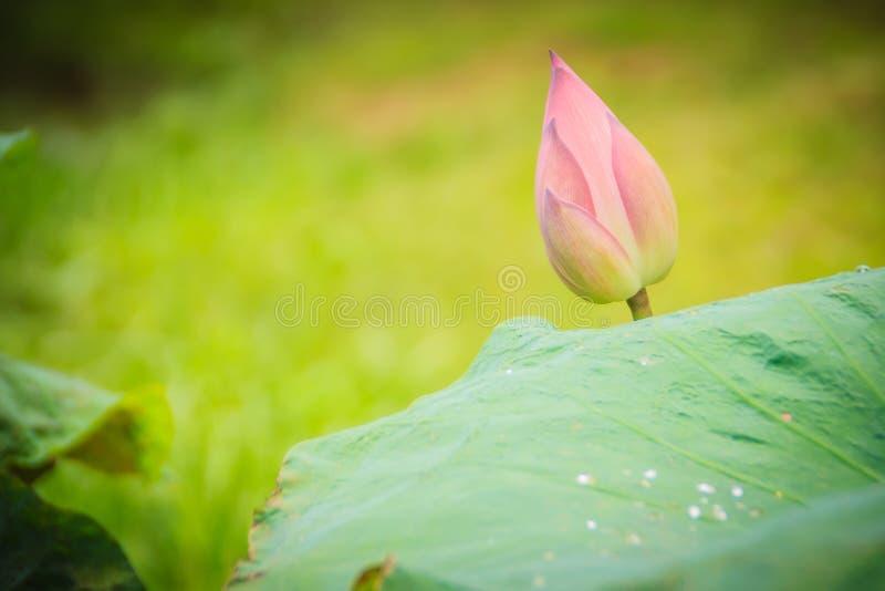 桃红色莲花(莲属nucifera)与绿色在自然背景离开 莲属nucifera,亦称印地安莲花, 库存照片