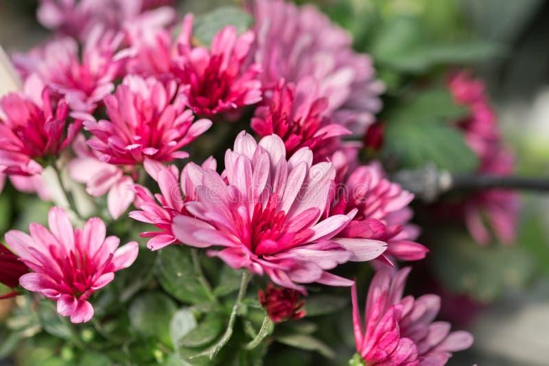 桃红色菊花或妈咪或者chrysanths花 免版税库存图片