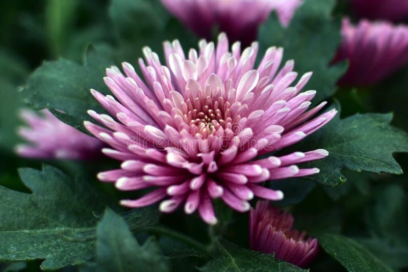 桃红色菊花花在庭院里开花 免版税图库摄影