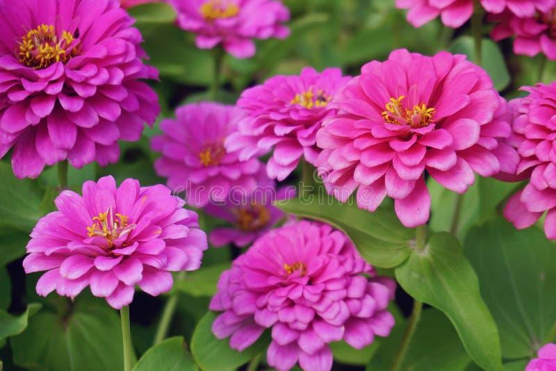 桃红色菊花花在庭院里 免版税图库摄影