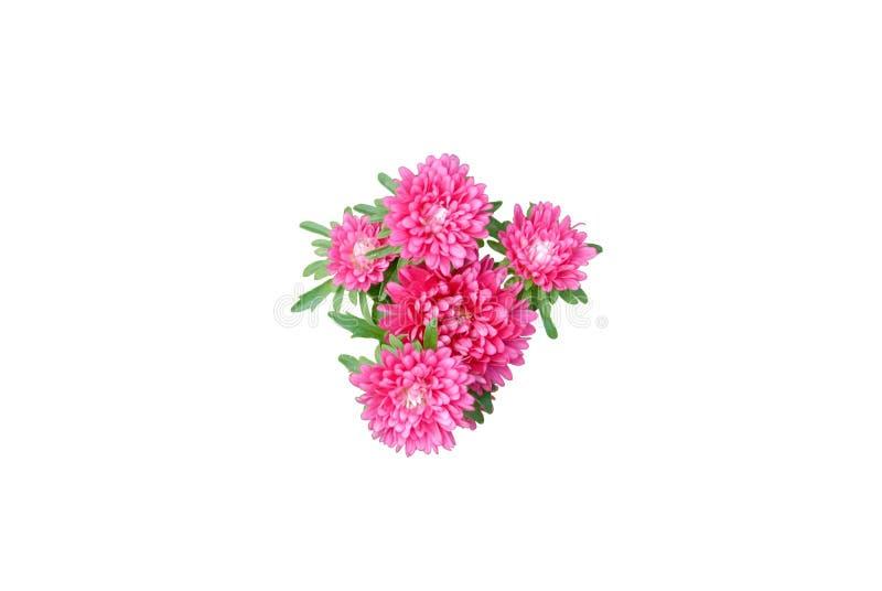 桃红色菊花花 库存图片