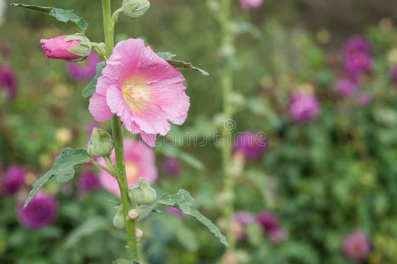 桃红色蜀葵在庭院里 免版税库存照片