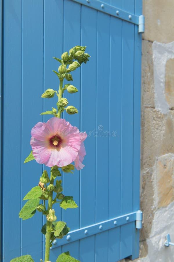 桃红色蜀葵在法国 库存照片