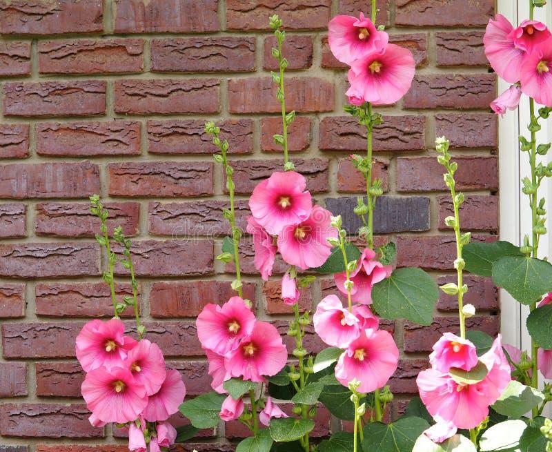 桃红色蜀葵对A红砖墙壁 免版税库存照片