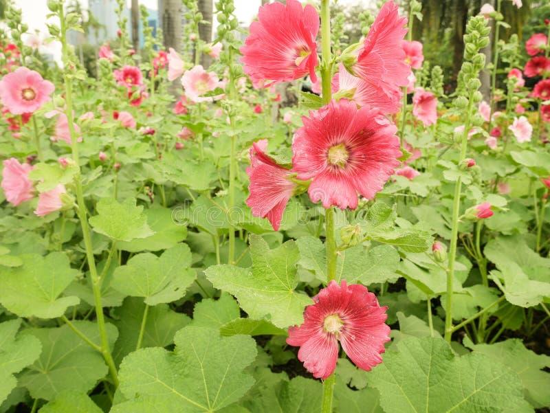 桃红色蜀葵花在庭院里 免版税库存图片
