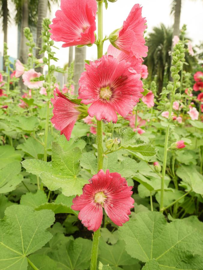 桃红色蜀葵花在庭院里 库存照片