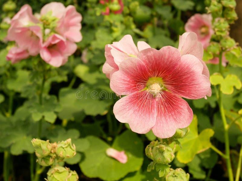桃红色蜀葵花在庭院里 免版税库存照片