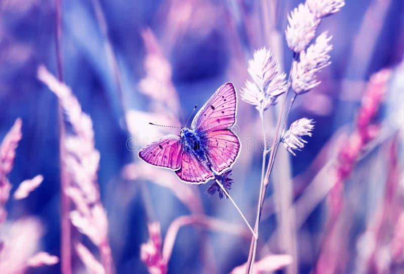 桃红色蝴蝶,铜蝴蝶坐淡色和温暖的光的一个晴朗的夏天草甸 图库摄影