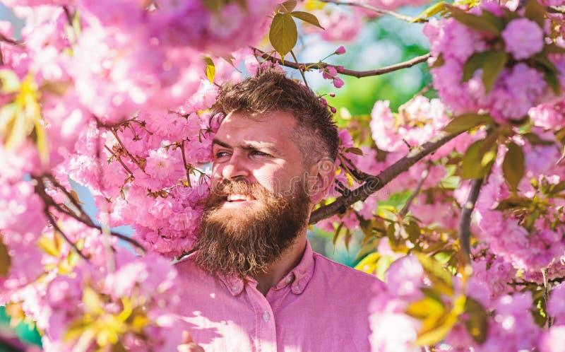 桃红色衬衣的行家在佐仓树附近分支  有胡子的在微笑的面孔的人和髭在花附近 博若莱红葡萄酒 库存图片