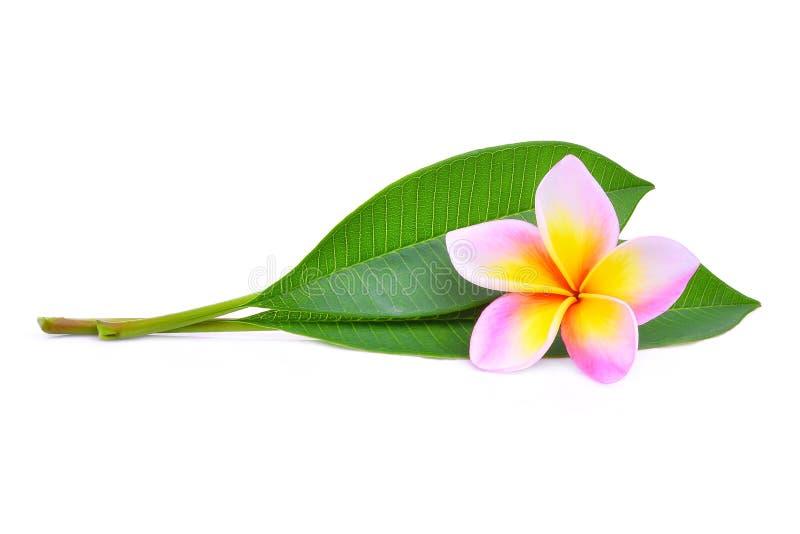 桃红色赤素馨花或羽毛热带花与绿色叶子 免版税库存照片