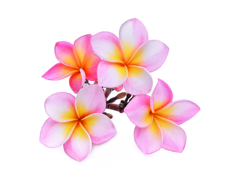 桃红色赤素馨花或羽毛& x28; 热带flowers& x29;隔绝 免版税库存图片
