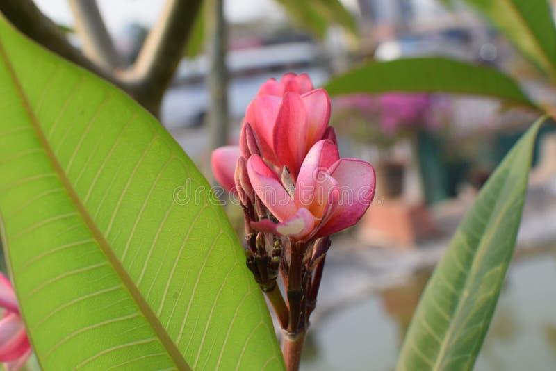 桃红色赤素馨花!! 库存图片