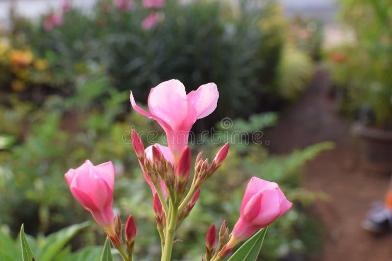 桃红色赤素馨花!! 免版税库存照片