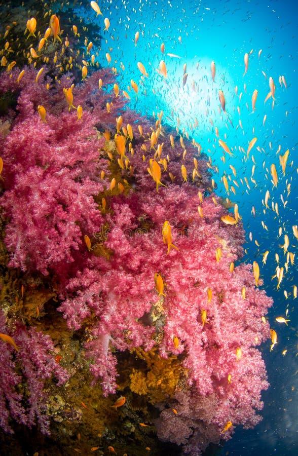 桃红色软的珊瑚和anthia珊瑚礁 图库摄影