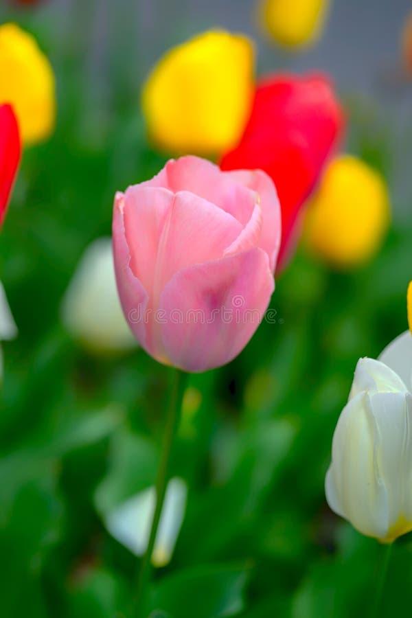 桃红色郁金香和多彩多姿的郁金香背景的关闭 库存图片