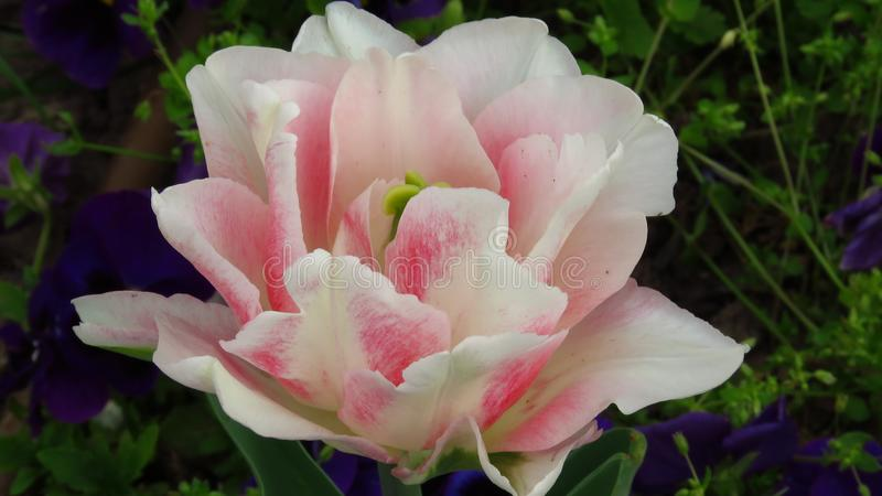 桃红色郁金香和蓝色紫罗兰 库存图片
