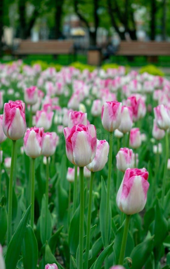 桃红色郁金香在城市公园 免版税库存照片